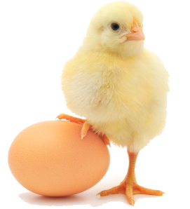 ChickenEgg crop